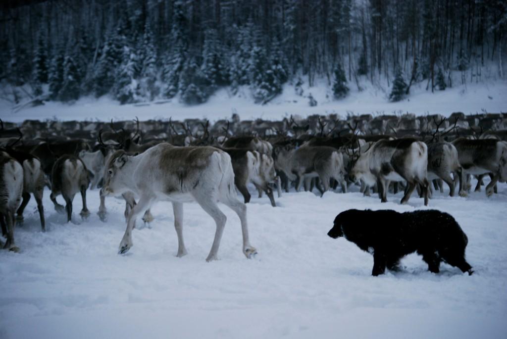 chippa-reindeer